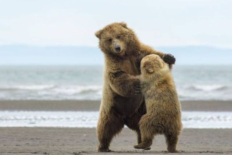 just some dancing bears on the beach
