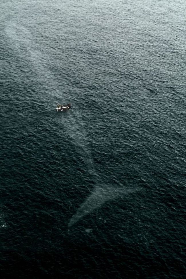 whale beneath small boat in the ocean, view from the sky