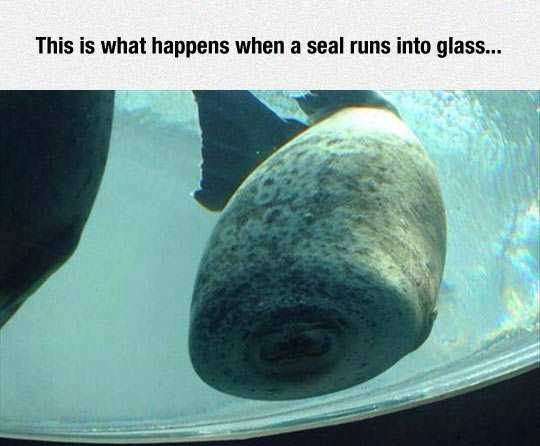 this is what happens when a seal runs into glass, collapsed face, lol