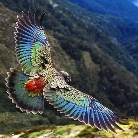 kea parrot found only in the south island of new zealand and the only alpine parrot in the world