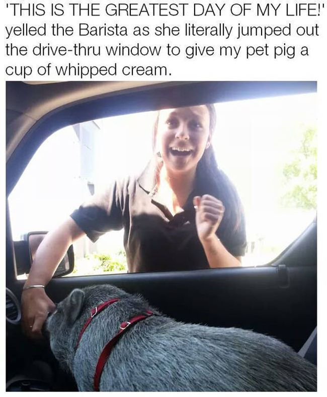 this is the greatest day of my life, yelled the barista as she literally jumped out the drive thru window to give my pet pig a cup of whipped cream