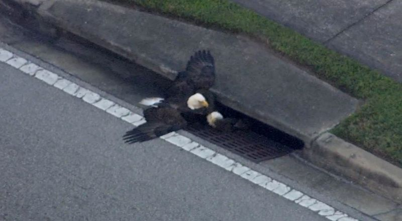 two bald eagles stuck in a storm drain become another perfect symbol for america in 2016
