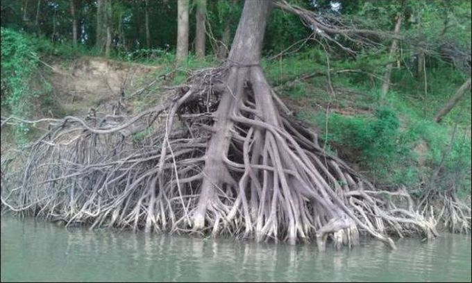 tree roots exposed by the side of the water