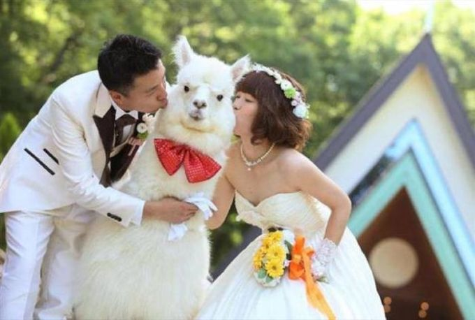 married couple kisses fat llama