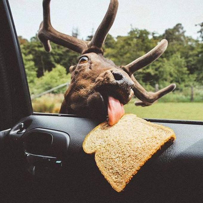 moose licking bread inside car window