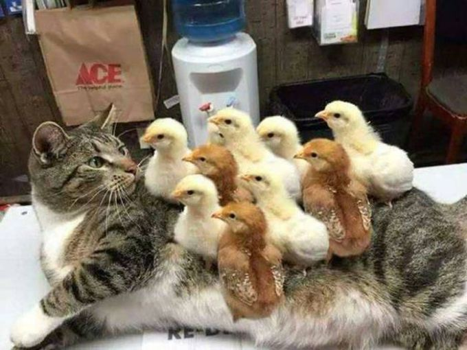 you'll be covered in chicks they said, it'll be fun they said, surprised cat with 9 chicks on him