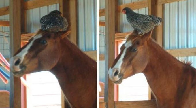 chicken on horse's head