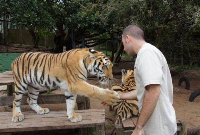 man shaking hands with a tiger