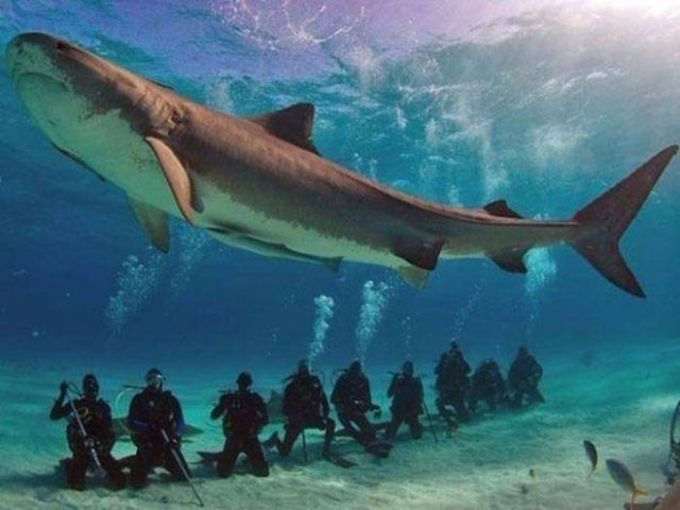 giant shark over scubadivers
