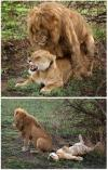 the lion gets the job done, female lion laying on back after mating