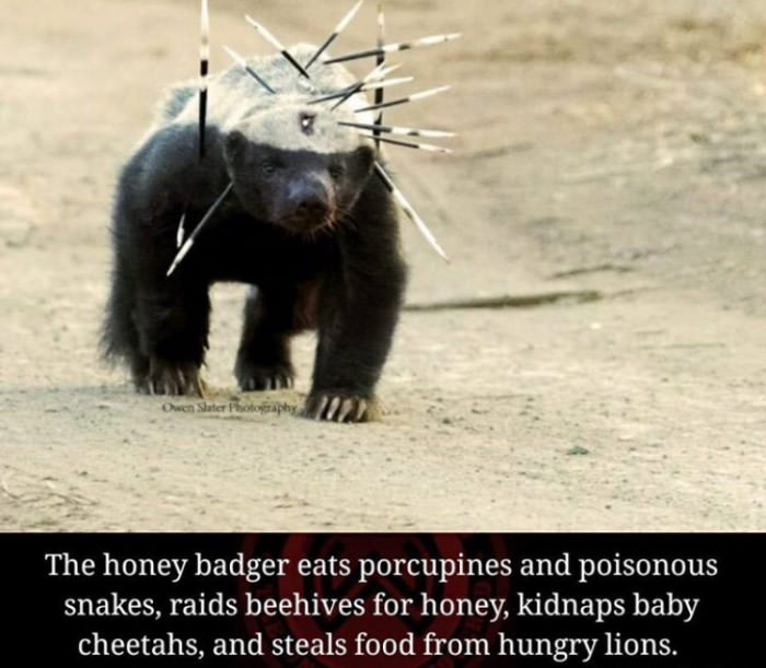 the honey badger eats porcupines and poisonous snakes, raids beehives for honey, kidnaps baby cheetahs, and steals food from hungry lions