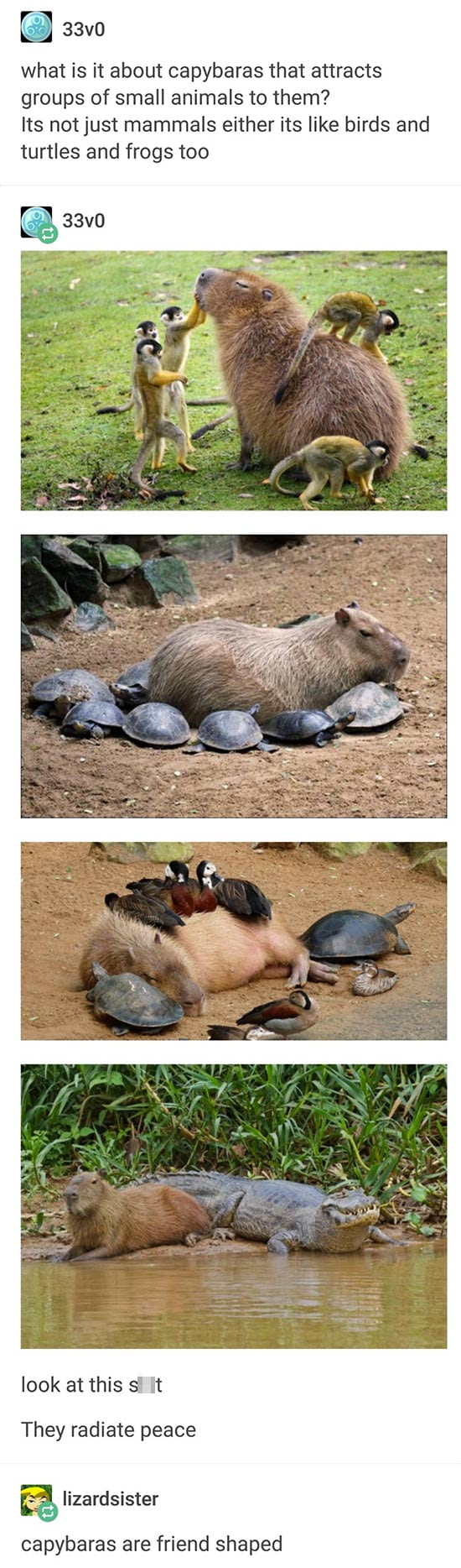 wat is it about capybaras that attracts groups of small animals to them?, its not just mammals either its like birds and turtles and frogs too, they radiate peace, capybaras are friend shaped