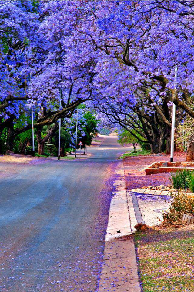 jacaranda trees in pretoria, south africa