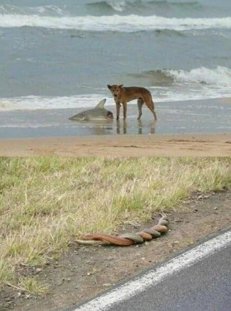 meanwhile in australia two snakes wrestle and a dingo eats a shark