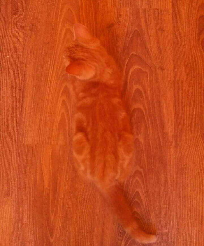 apparently cats have evolved hardwood floor camouflage