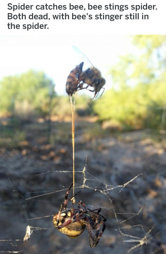 spider catches bee, bee stings spider, both dead, with bee's stinger still in the spider, nature is savage