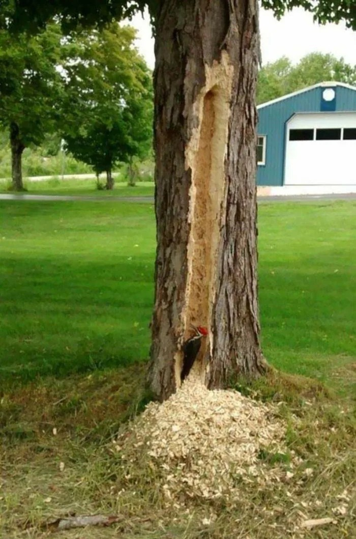 this wood pecker personifies 2020, large gash in tree