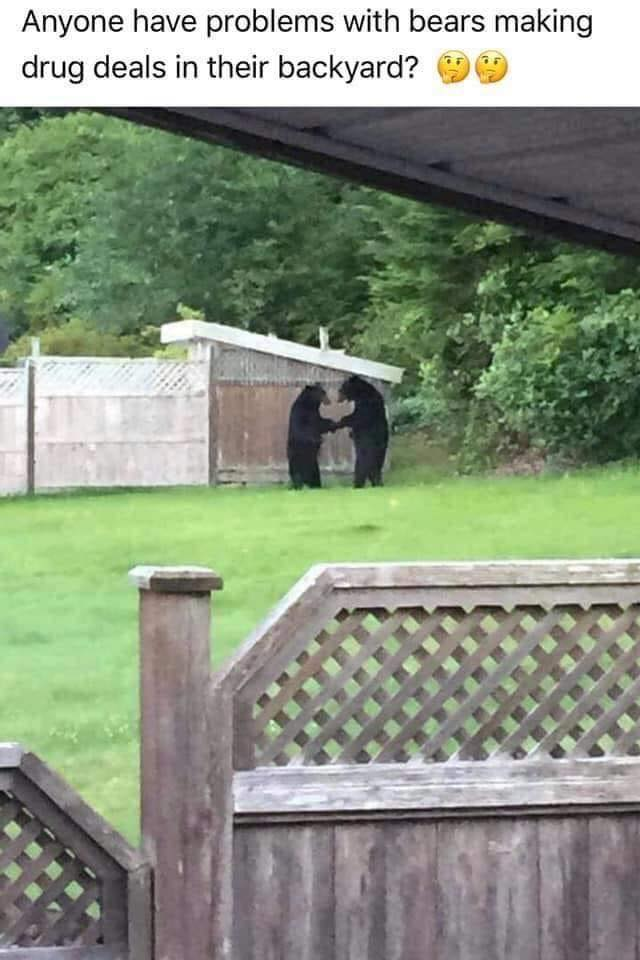 anyone else having problems with bears making drug deals in their back yard?
